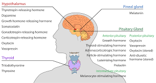 Human Anatomy Thyroid Holistic Guide To Healing The Endocrine System And Balancing Our