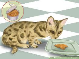 Cat Under Faucet 3 Ways To Take Care Of A Bengal Cat Wikihow