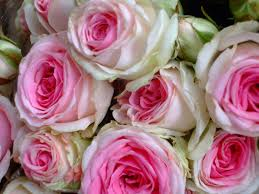images of cabbage rose wallpaper sc