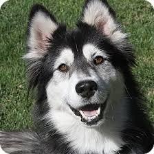 australian shepherd husky mix for sale bonnie adopted dog sacramento ca siberian husky australian