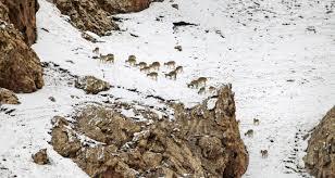 Chinese Kitchen Rock Island The Fight To Save Wild Animals Disney U0027s U0027born In China U0027 Presents