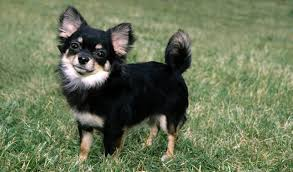 long hair chihuahua hair growth what to expect chihuahua dog breed information