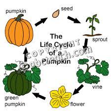 pumpkin life cycle lessons tes teach