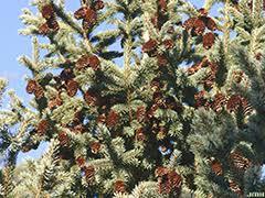 black hills spruce the morton arboretum