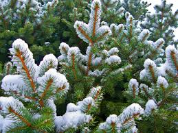 blue spruce pine tree trees free nature pictures by