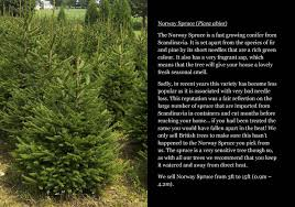100 christmas tree saplings for sale uk wholesale christmas