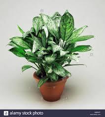 aglaonema chinese evergreen aglaonema silver queen araceae stock photo