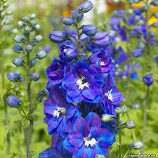 delphinium flower guardian blue delphinium larkspur american