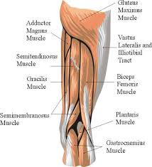 Bicep Innervation Where Is The Biceps Femoris Located Google Search Nasm