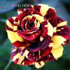 black roses for sale hot sale 50pcs true blood black seeds beautiful