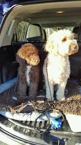 goldendoodle puppy treats our recommended puppy supply list aussiedoodle and labradoodle