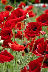poppies flowers https i pinimg 736x 45 3e 51 453e51fae5c104a
