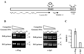 Flag Tag Dna Sequence Subnuclear Distribution Of The Largest Subunit Of The Human Origin