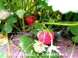 Strawberry Garden Beds How To Grow Strawberries Best Tips And Tricks For Tons Of