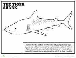 tiger shark worksheet education