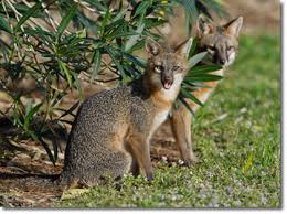 fox removal trapper j will get rid of foxes in louisiana