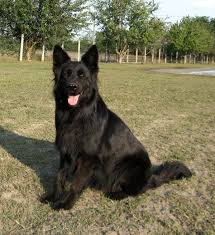 belgian sheepdog puppies for sale in michigan 179 best long hair shepherds images on pinterest german