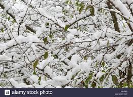 tree with branches covered with white fluffy snow stock photo