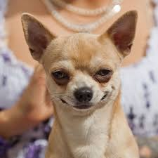 Annoyed Dog Meme - mildly annoyed dog