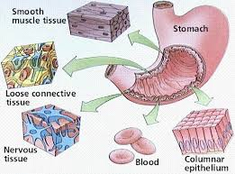 What Organelles Are Found In Epithelial Cells Animal Ts Types