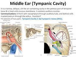 Behind The Ear Anatomy Head U0026 Neck Unit U2013 Lecture 8 د حيدر جليل الأعسم Ppt Video