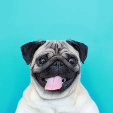 Birthday Animal Meme - because i m happy loulou the pug animals 3 pinterest dog