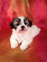bichon frise breeders in pa teddy bear shih tzu bichon breeder with puppies for sale shipping