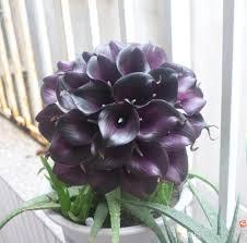 calla lily colors vintage purple mini calla lilies starts