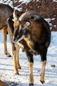 free images snow wildlife deer fauna vertebrate ram horns