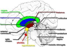 human brain dissection guide human anatomy charts