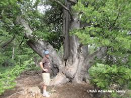 cool trees limber pine trail