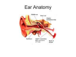 The Human Ear Anatomy Going Green This Educational Offering Is Joining Others In An