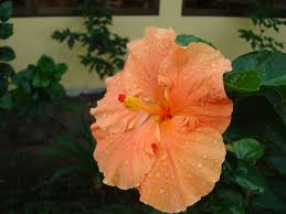 native plants of costa rica hibiscus l