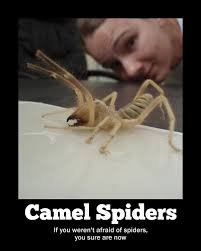 Afraid Of Spiders Meme - i m afraid of camels and spiders and now camel spiders there s not