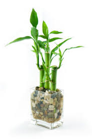 looking for an ideal office plant try lucky bamboo growing it