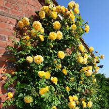 Patio Tree Roses by Roses For Shady Areas David Austin Roses
