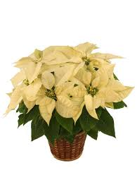 winter park florist winter white poinsettia blooming plant in kelowna bc mission