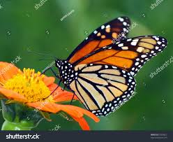 monarch butterfly on mexican sunflower stock photo 57609622