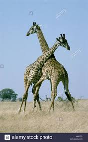masai giraffe fighting or necking stock photo royalty free image