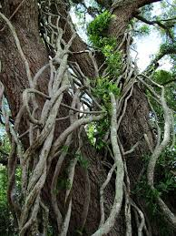 vine trees search trees searching