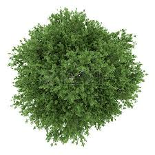 top view of small leaved lime tree isolated on white background