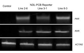 biomonitoring of non dioxin like polychlorinated biphenyls in