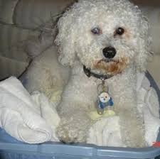 bichon frise dog pictures bichon frise dog breed information and pictures