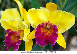 cattleya orchids cattleya orchid stock images royalty free images vectors