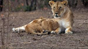 night of the lion national geographic channel uk