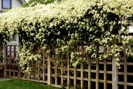 clematis montana alba photos design ideas remodel and decor