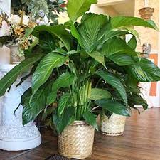 funeral plants floral arrangements for funerals franklin florist
