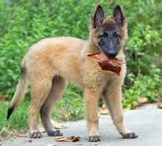 belgian shepherd washington state 77 best belgian tervuren images on pinterest belgian shepherd