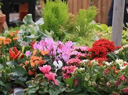 fairy garden plants miniature garden plants tagawa gardens