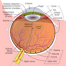 What Is The Blind Spot Fovea Centralis Wikipedia